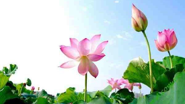 Mơ thấy hoa sen đánh con gì ăn chắc? Ngủ mơ thấy hoa sen là điềm gì?
